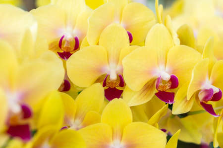 Yellow orchid, hybrid moon Phalaenopsis in botanical orchid farm.
