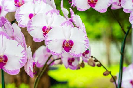 Purple white orchid, hybrid moon Phalaenopsis in botanical orchid farm.
