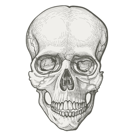 Human skull drawing Vector