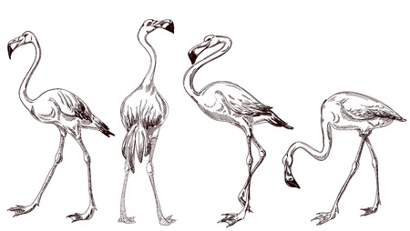 Sketched flamingos vector  Vector