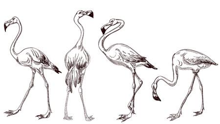 Sketched flamingos vector Stok Fotoğraf - 30016974