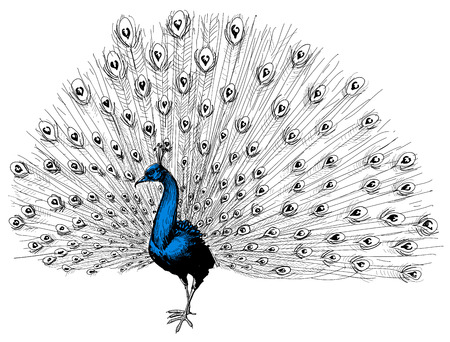 Peacock isolated hand drawing  Illustration