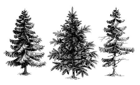 Pine trees  Christmas trees realistic hand drawn vector set, isolated over white Çizim