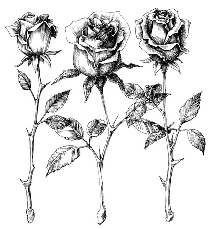 Single roses drawing set Imagens - 37140424