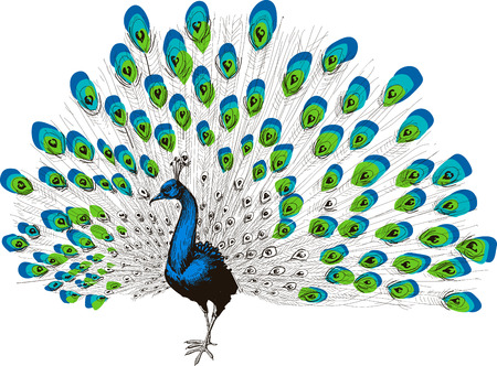Colorful peacock drawing Banco de Imagens - 46667076