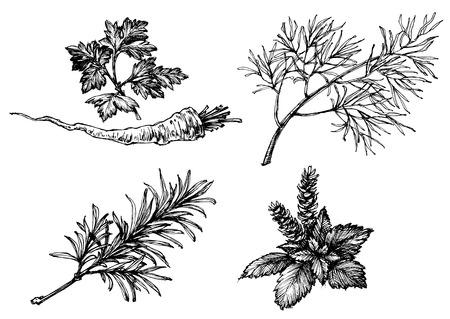 Warzywa i zioła rysunki na białym, ręcznie rysowane stylu retro. Pietruszka, koper, rozmaryn, bazylia