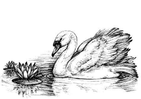 Swan on lake, lotus flowers sketch