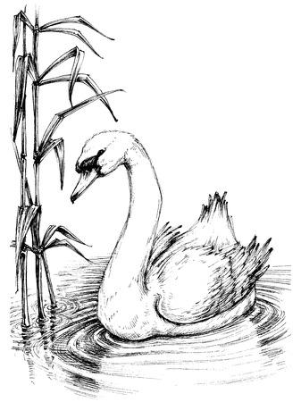 cisnes: Cisne en el lago boceto