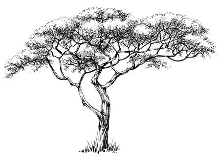 boceto: árbol africano, árbol Marula