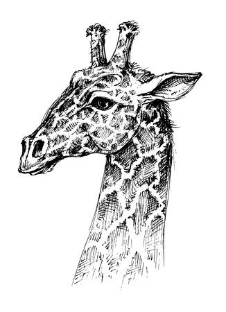 big ear: Giraffe head