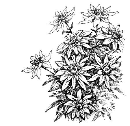 Edelweiss etsen, zeldzame bloemen gebladerte Stock Illustratie