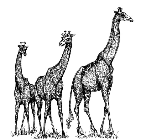 savana: Group of giraffes