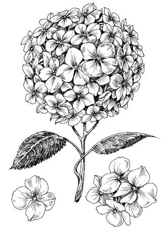 Hydrangea flower set. Hand drawn detailed hortensia Ilustração Vetorial