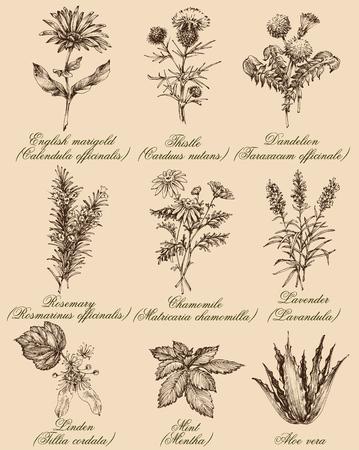 꽃과 허브를 설정합니다. 약용 식물과 향신료 손으로 그린, 빈티지 조각 스타일. 건강한 생활을위한 식물 세트