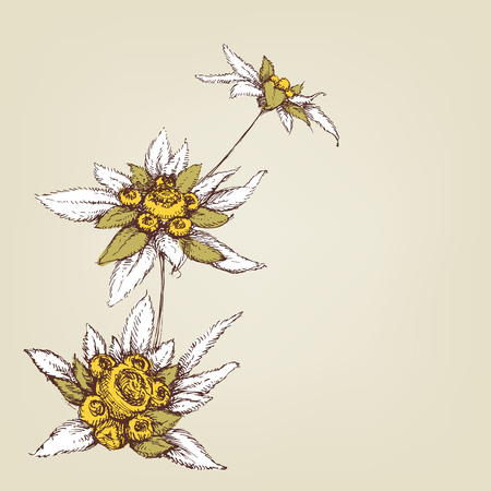 Edelweiss composition greeting card Illustration