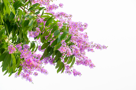 Inthanin pink flowers on a white background