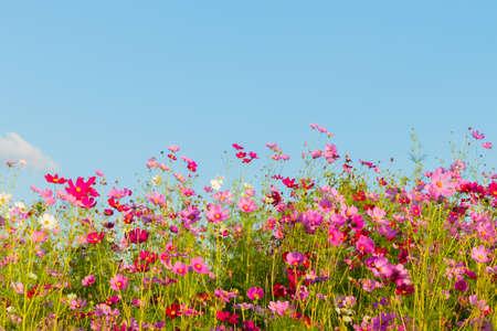 Beautiful cosmos flowers blooming in garden Zdjęcie Seryjne