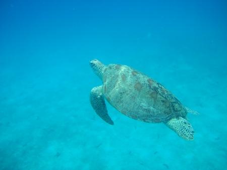 tortue verte: Green Turtle
