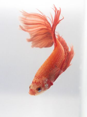 betta: Thailand Betta Stock Photo