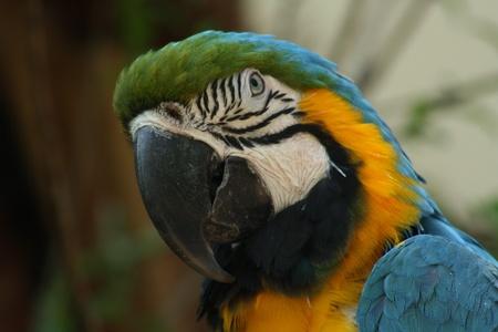 Closeup of macaw head