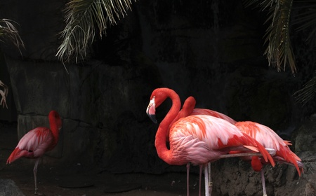 Flamingo flock against a dark rock background