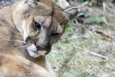 Closeup of mountain lion grooming photo