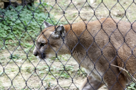 Mountain lion pacing behind a fence with natural background photo