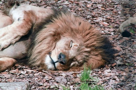 Upper body of a lion resting in fall leaves photo