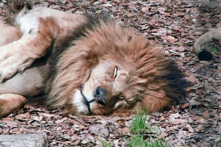 Upper body of a lion resting in fall leaves 免版税图像