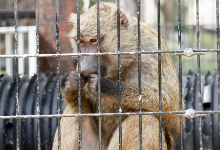 scamp: Portrait of a caged baboon eating