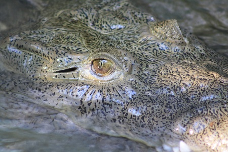 alligators: Alligators eye
