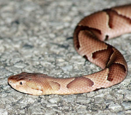 Copperhead lurking in the road