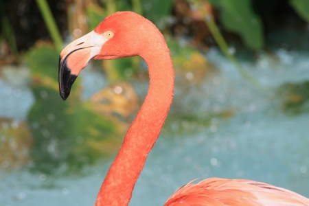 Flamingo against water background