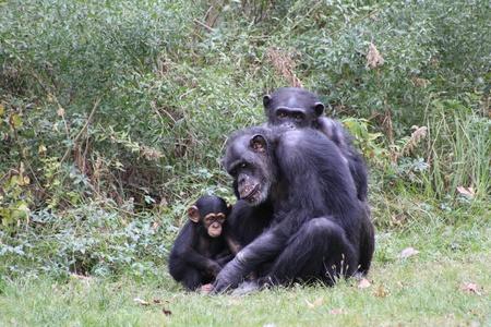 Chimp family in grassy habitat