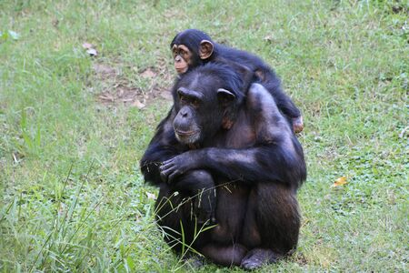 Two chimps in grassy habitat photo