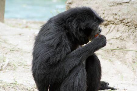 siamang: Siamang at Audubon Zoo in New Orleans Stock Photo