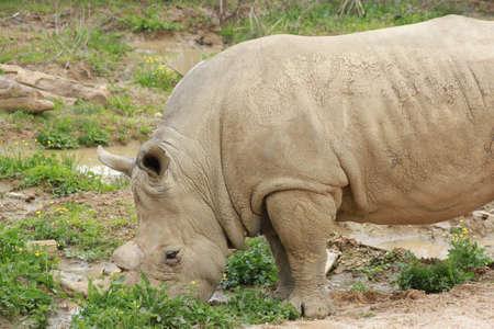 Rhino standing in outdoor zoo habitat photo