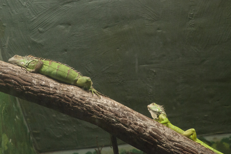 Two green  iguanas resting near a light source on a branch photo