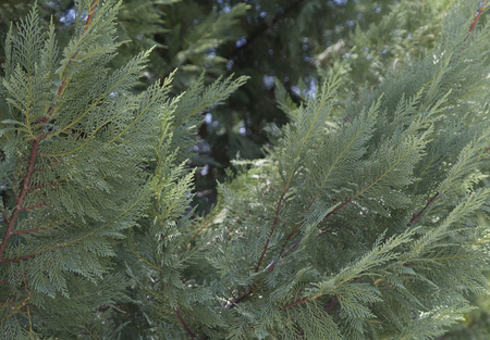 Close up of green fir tree branches photo
