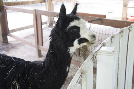 Young black and white llama in a stable