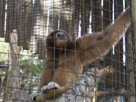 Gibbon monkey sitting on a branch in zoo habitat photo