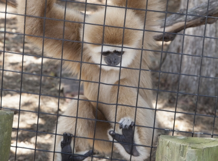 Gibbon monkey hanging from cage fence photo