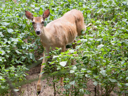 Doe hidden in foliage and cautiously watching for predators
