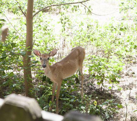 grazer: Doe cautiously watching for predators