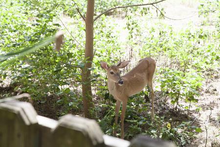 curiously: Doe peeking curiously over a fence