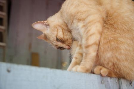 cat grooming: Golden Cat Grooming Stock Photo