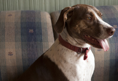 Bird dog sitting indoors on couch