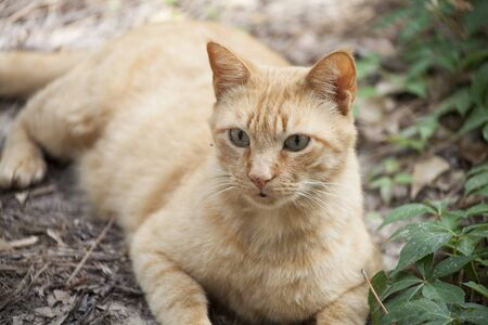 Golden tabby lying safely on the ground