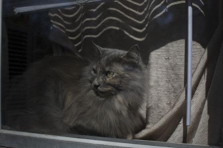 Wistful gray cat in a window