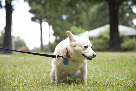 Small, white female dog urinating in a park